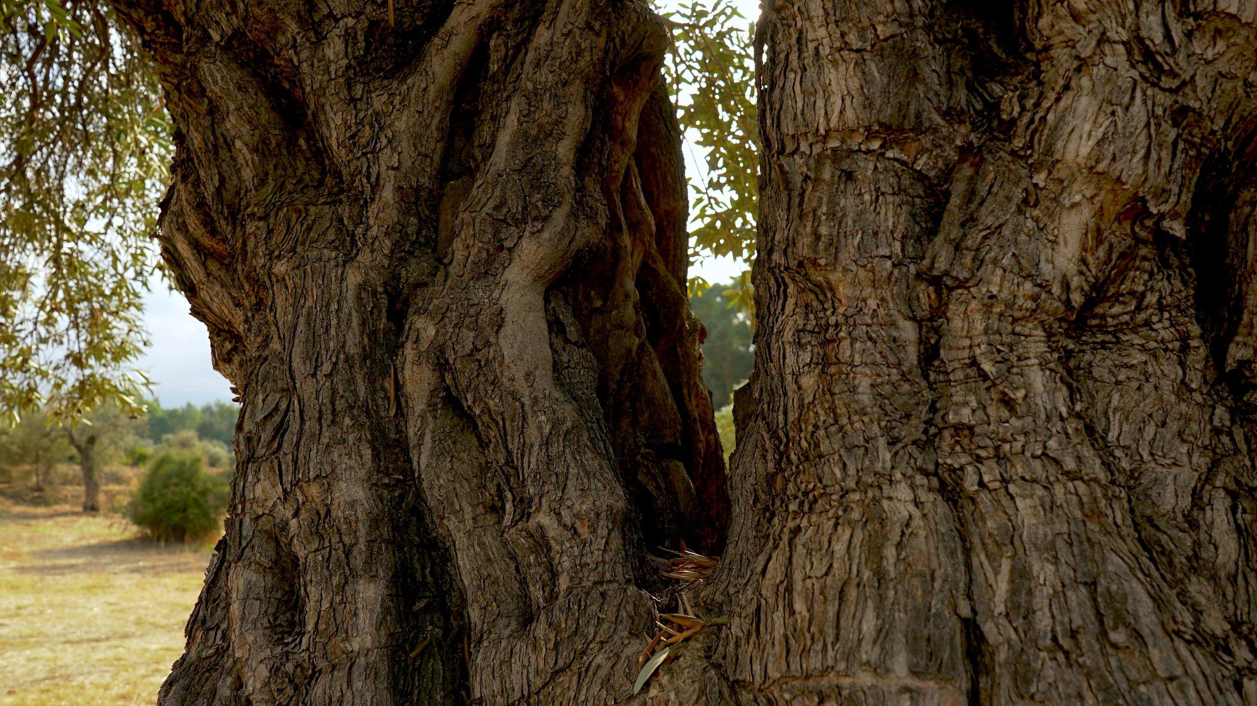Olive Carbon / Ecosystem Services © Nicolas Netien